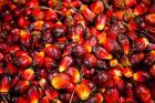 Palmöl roh und raffiniert